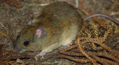 Melomys cervinipes