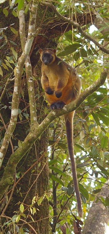 Male Lumholtz Tree Kangaroo Photo: Jane Hopkinson